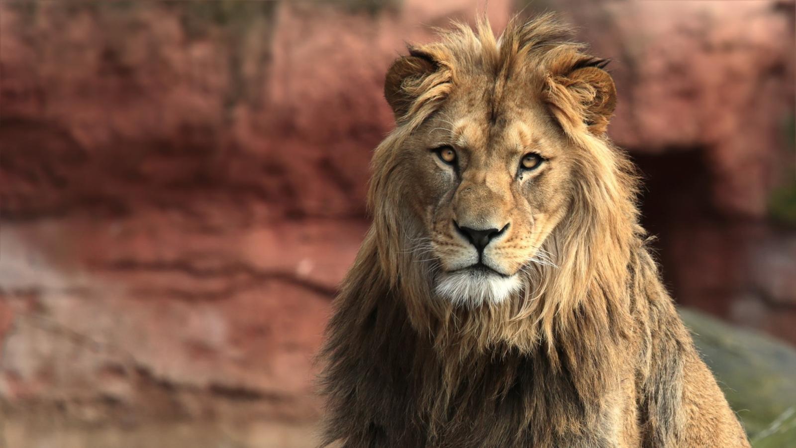 lion wallpaper hd 1600x900 255843
