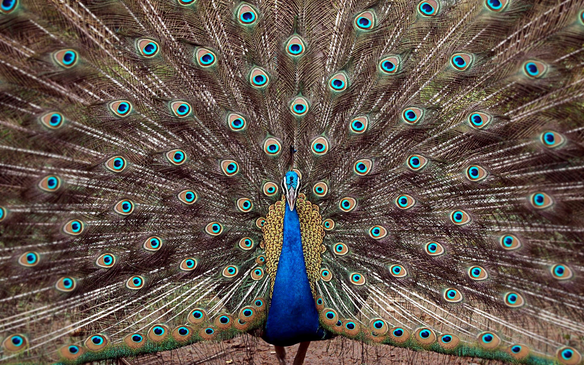 Best Peacock wallpaper ID:151733 for High Resolution hd 1920x1200 PC