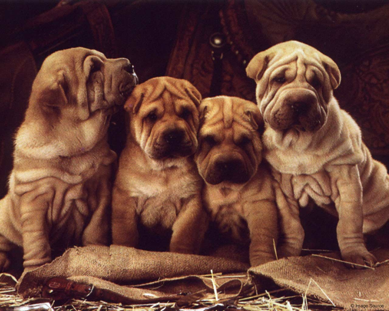 High resolution Shar Pei hd 1280x1024 wallpaper ID:376282 for desktop