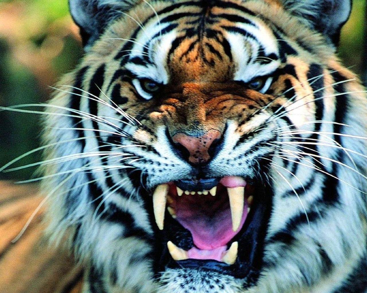 Awesome Tiger free wallpaper ID:115589 for hd 1280x1024 computer