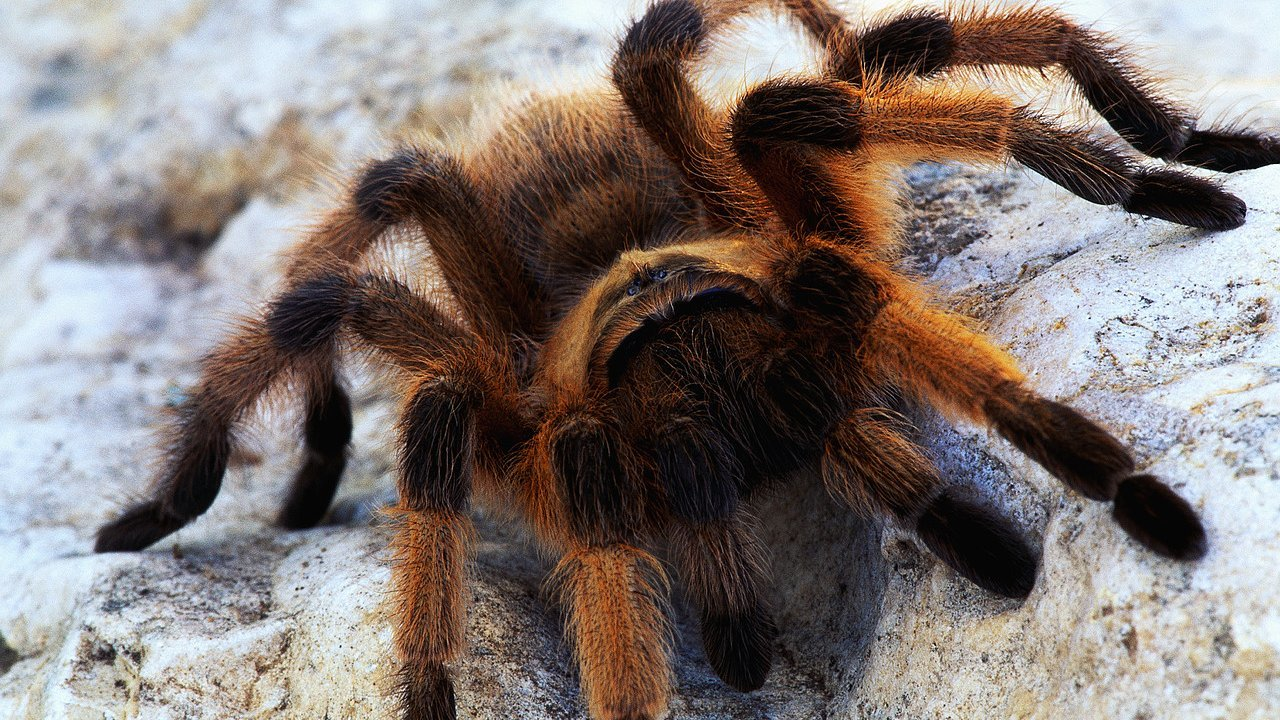 Best Tarantula wallpaper ID:409561 for High Resolution 720p PC