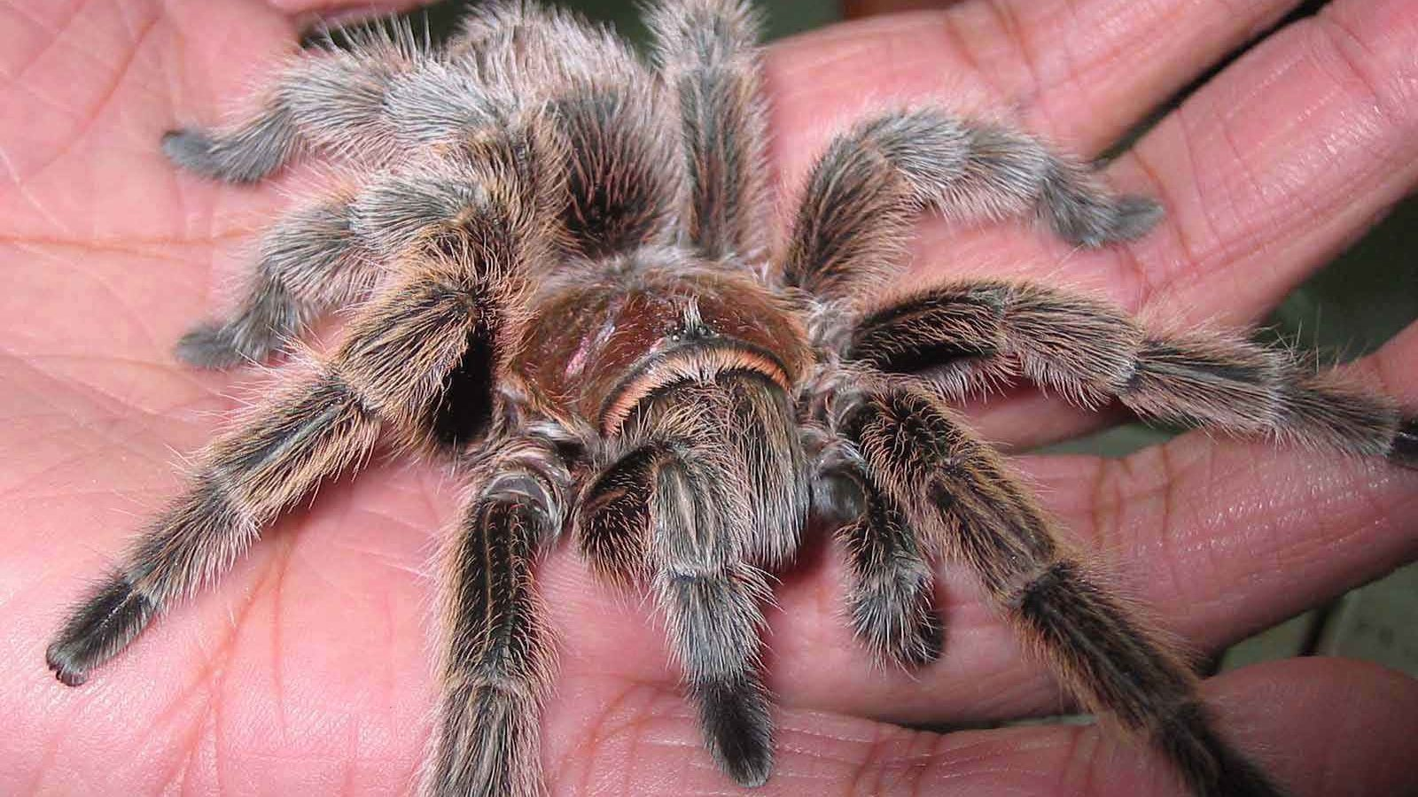 Best Tarantula wallpaper ID:409559 for High Resolution hd 1600x900 desktop