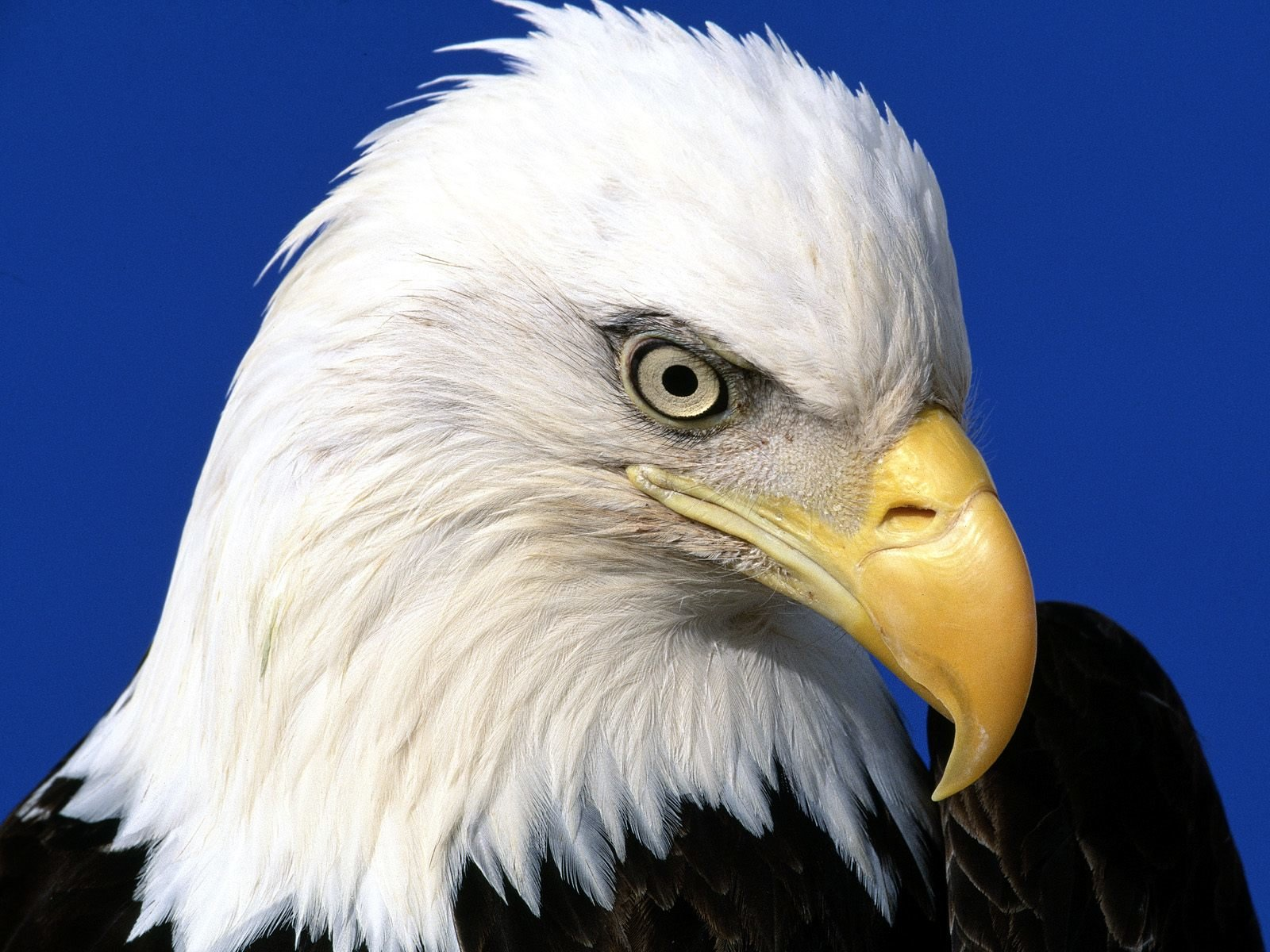 Free Eagle high quality wallpaper ID:231129 for hd 1600x1200 computer