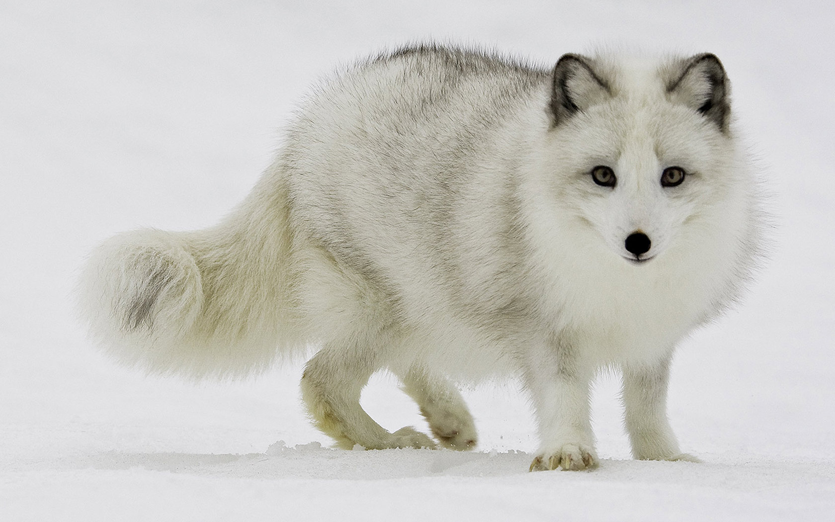 Awesome Arctic Fox free wallpaper ID:98730 for hd 1680x1050 PC