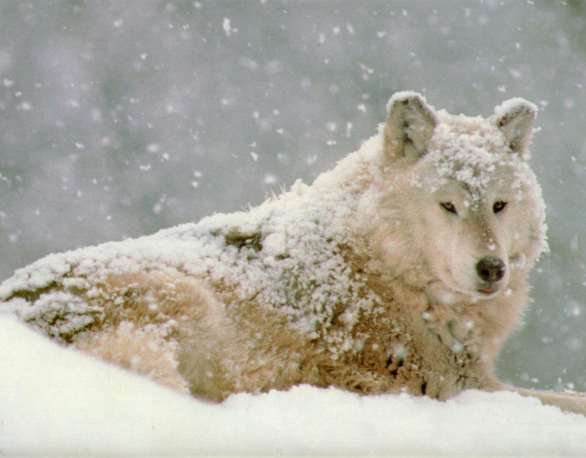 Best Wolf background ID:117606 for High Resolution hd 1152x900 computer