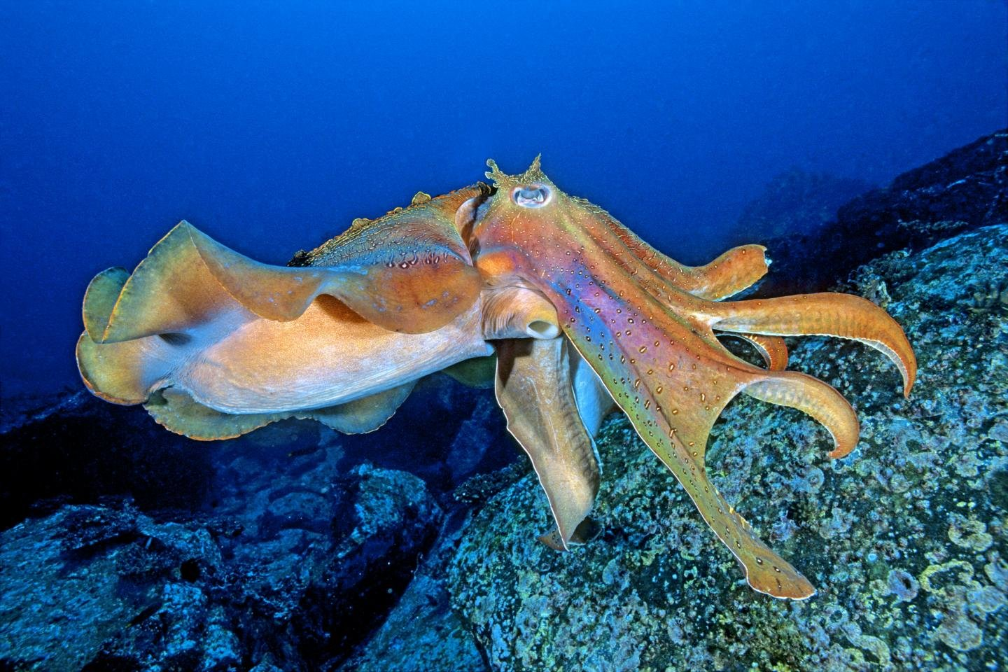 Awesome Octopus free wallpaper ID:350559 for hd 1440x960 PC