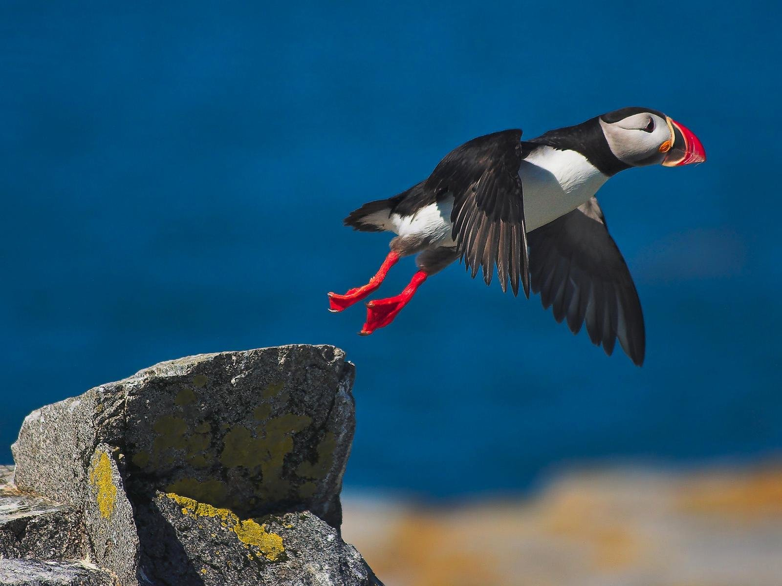 Awesome Puffin free background ID:193174 for hd 1600x1200 PC