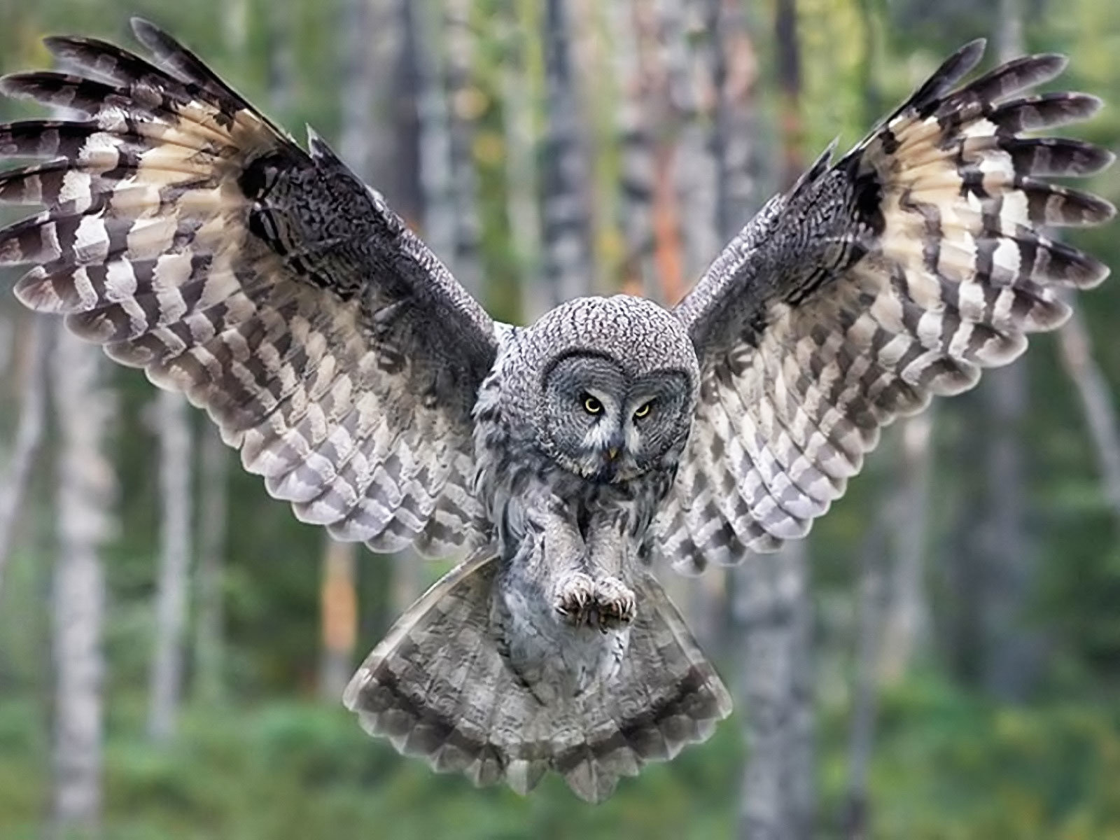 Free download Great Grey Owl wallpaper ID:235108 hd 1600x1200 for computer