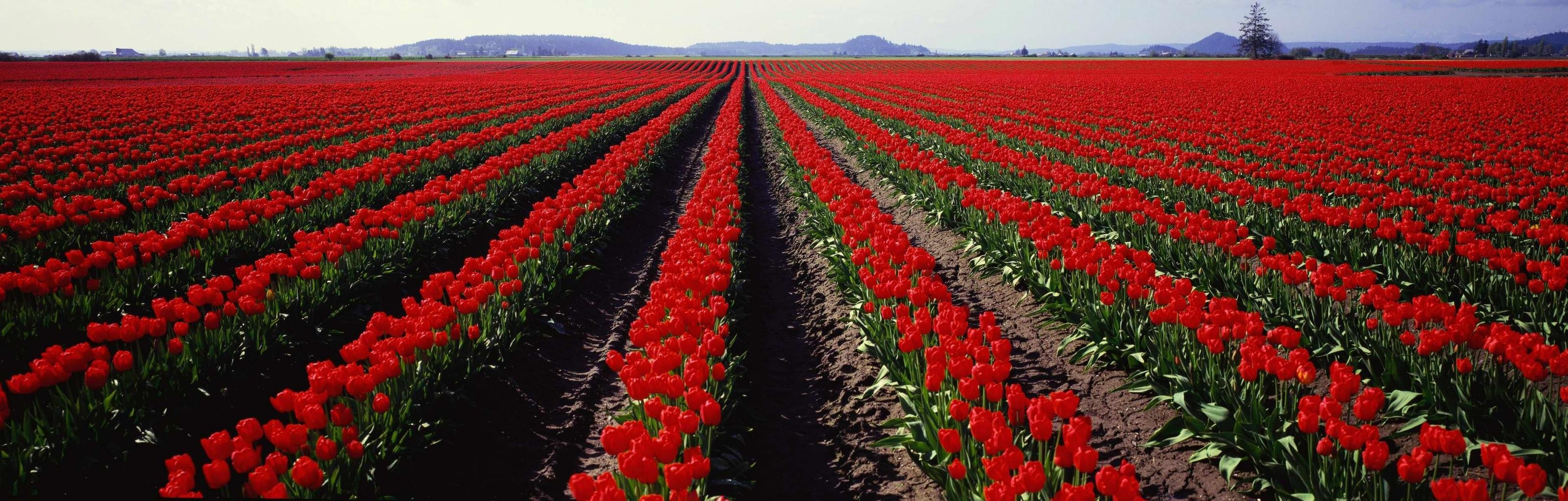 Awesome Tulip free background ID:157336 for dual monitor 3200x1024 PC