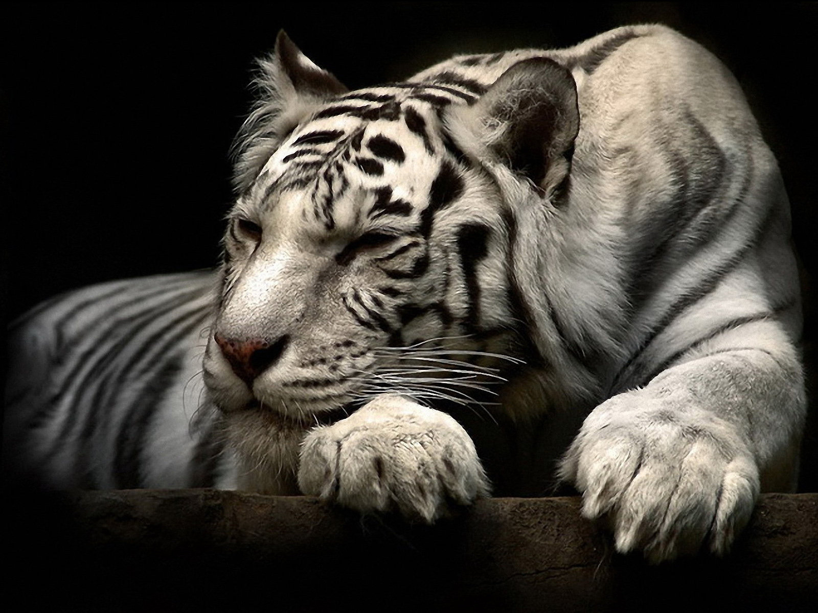 Download hd 1600x1200 White Tiger PC wallpaper ID:174833 for free